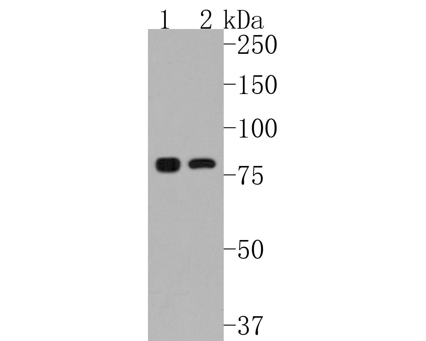 Western blot analysis of IKK alpha on different lysates. Proteins were transferred to a PVDF membrane and blocked with 5% BSA in PBS for 1 hour at room temperature. The primary antibody (ET1611-15, 1/500) was used in 5% BSA at room temperature for 2 hours. Goat Anti-Rabbit IgG - HRP Secondary Antibody (HA1001) at 1:5,000 dilution was used for 1 hour at room temperature.<br /> Positive control: <br /> Lane 1: Jurkat cell lysate<br /> Lane 2: Hela cell lysate