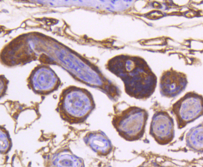 Immunohistochemical analysis of paraffin-embedded mouse skin tissue using anti-IKK alpha antibody. The section was pre-treated using heat mediated antigen retrieval with Tris-EDTA buffer (pH 8.0-8.4) for 20 minutes.The tissues were blocked in 5% BSA for 30 minutes at room temperature, washed with ddH2O and PBS, and then probed with the primary antibody (ET1611-15, 1/50) for 30 minutes at room temperature. The detection was performed using an HRP conjugated compact polymer system. DAB was used as the chromogen. Tissues were counterstained with hematoxylin and mounted with DPX.