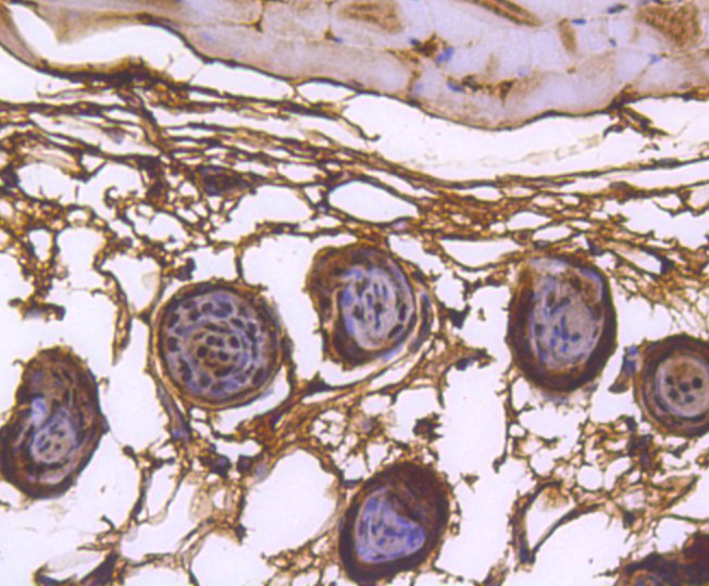 Immunohistochemical analysis of paraffin-embedded mouse skin tissue using anti-hnRNP C1+C2 antibody. Counter stained with hematoxylin.