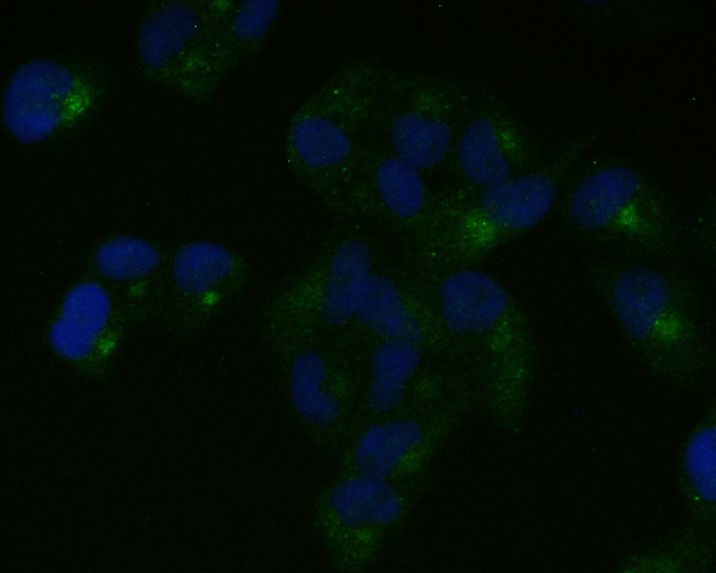 ICC staining of Nestin in Hela cells (green). Formalin fixed cells were permeabilized with 0.1% Triton X-100 in TBS for 10 minutes at room temperature and blocked with 1% Blocker BSA for 15 minutes at room temperature. Cells were probed with the primary antibody (ET1611-21, 1/50) for 1 hour at room temperature, washed with PBS. Alexa Fluor®488 Goat anti-Rabbit IgG was used as the secondary antibody at 1/1,000 dilution. The nuclear counter stain is DAPI (blue).