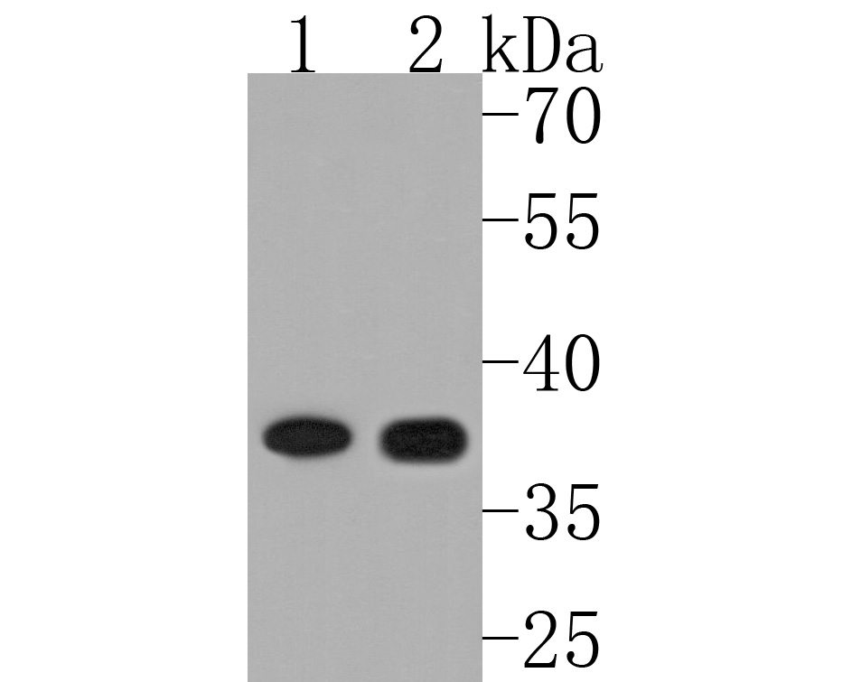 Flow cytometric analysis of Jurkat cells with GPCR RDC1 antibody at 1/50 dilution (red) compared with an unlabelled control (cells without incubation with primary antibody; black). Alexa Fluor 488-conjugated goat anti rabbit IgG was used as the secondary antibody