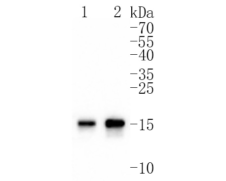 Western blot analysis of MAP1LC3A on mouse brain lysates using anti-MAP1LC3A antibody at 1/1,000 dilution.