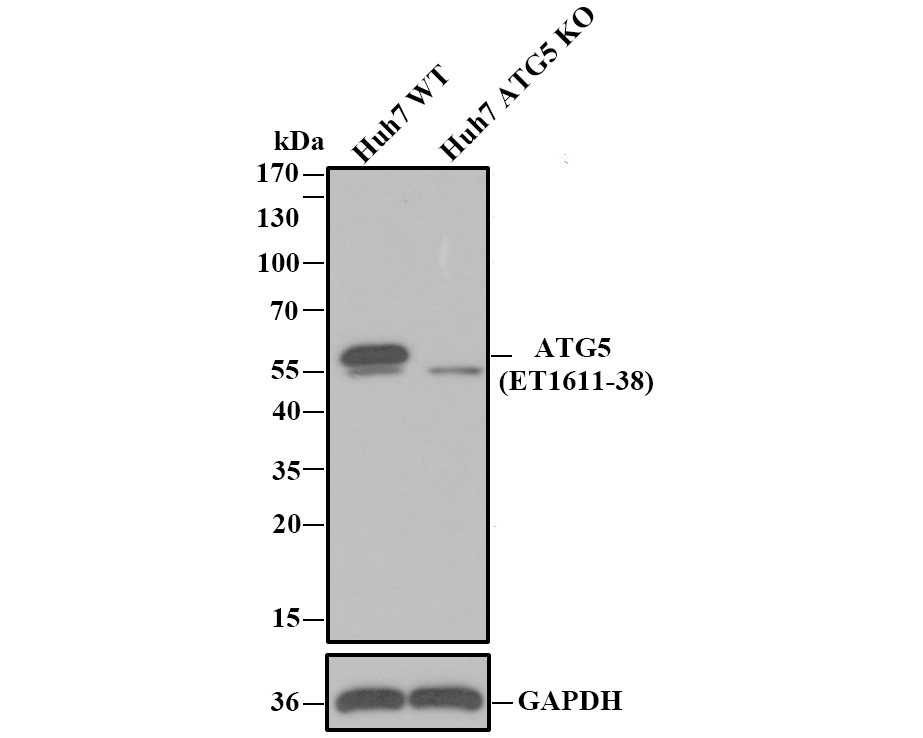 Western blot analysis of ATG5 on different lysates. Proteins were transferred to a PVDF membrane and blocked with 5% BSA in PBS for 1 hour at room temperature. The primary antibody (ET1611-38, 1/500) was used in 5% BSA at room temperature for 2 hours. Goat Anti-Rabbit IgG - HRP Secondary Antibody (HA1001) at 1:5,000 dilution was used for 1 hour at room temperature.<br />  Positive control: <br />  Lane 1: Raji cell lysate<br />  Lane 2: Hela cell lysate<br />  Lane 2: PC-12 cell lysate