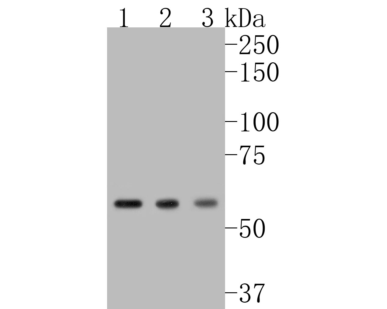 Western blot analysis of NOX2/gp91phox on different lysates. Proteins were transferred to a PVDF membrane and blocked with 5% BSA in PBS for 1 hour at room temperature. The primary antibody (ET1611-44, 1/500) was used in 5% BSA at room temperature for 2 hours. Goat Anti-Rabbit IgG - HRP Secondary Antibody (HA1001) at 1:5,000 dilution was used for 1 hour at room temperature.<br /> Positive control: <br /> Lane 1: MCF-7 cell lysate<br /> Lane 2: THP-1 cell lysate<br /> Lane 3: Daudi cell lysate