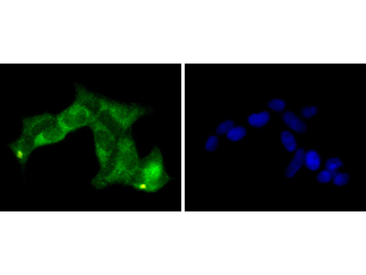ICC staining of PP2A alpha + beta in 293 cells (green). Formalin fixed cells were permeabilized with 0.1% Triton X-100 in TBS for 10 minutes at room temperature and blocked with 1% Blocker BSA for 15 minutes at room temperature. Cells were probed with the primary antibody (ET1611-54, 1/50) for 1 hour at room temperature, washed with PBS. Alexa Fluor®488 Goat anti-Rabbit IgG was used as the secondary antibody at 1/1,000 dilution. The nuclear counter stain is DAPI (blue).