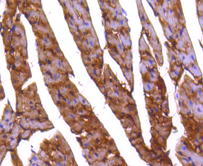 Immunohistochemical analysis of paraffin-embedded mouse heart tissue using anti-PP2A alpha + beta antibody. The section was pre-treated using heat mediated antigen retrieval with Tris-EDTA buffer (pH 8.0-8.4) for 20 minutes.The tissues were blocked in 5% BSA for 30 minutes at room temperature, washed with ddH2O and PBS, and then probed with the primary antibody (ET1611-54, 1/50) for 30 minutes at room temperature. The detection was performed using an HRP conjugated compact polymer system. DAB was used as the chromogen. Tissues were counterstained with hematoxylin and mounted with DPX.