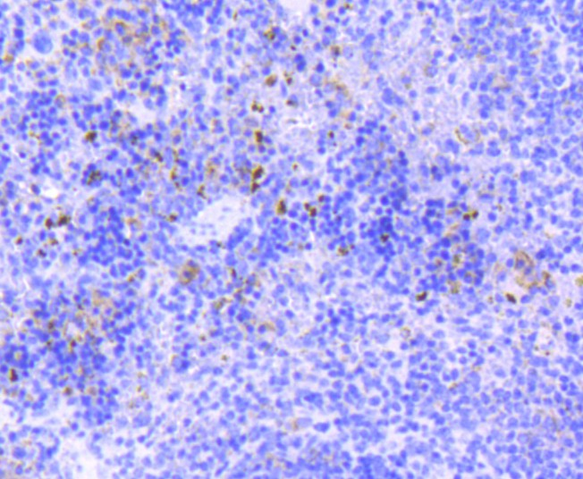 Flow cytometric analysis of SOX9 was done on Hela cells. The cells were fixed, permeabilized and stained with the primary antibody (ET1611-56, 1/50) (red). After incubation of the primary antibody at room temperature for an hour, the cells were stained with a Alexa Fluor 488-conjugated Goat anti-Rabbit IgG Secondary antibody at 1/1000 dilution for 30 minutes.Unlabelled sample was used as a control (cells without incubation with primary antibody; black).