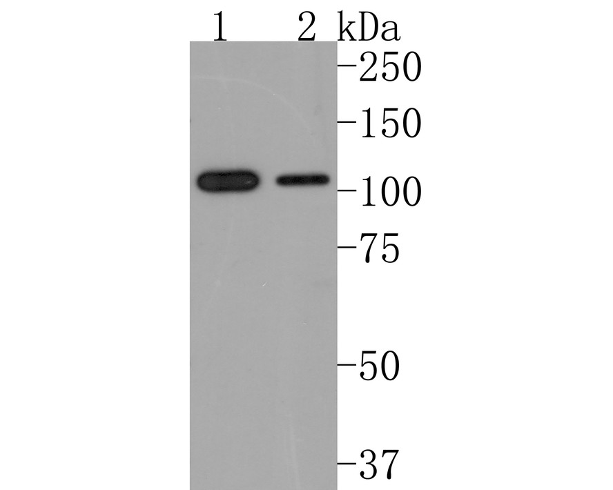Western blot analysis of ABCF1 on Hela lysates using anti-ABCF1 antibody at 1/1,000 dilution.