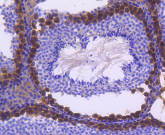 Immunohistochemical analysis of paraffin-embedded rat stomach tissue using anti-FANCD2 antibody. Counter stained with hematoxylin.