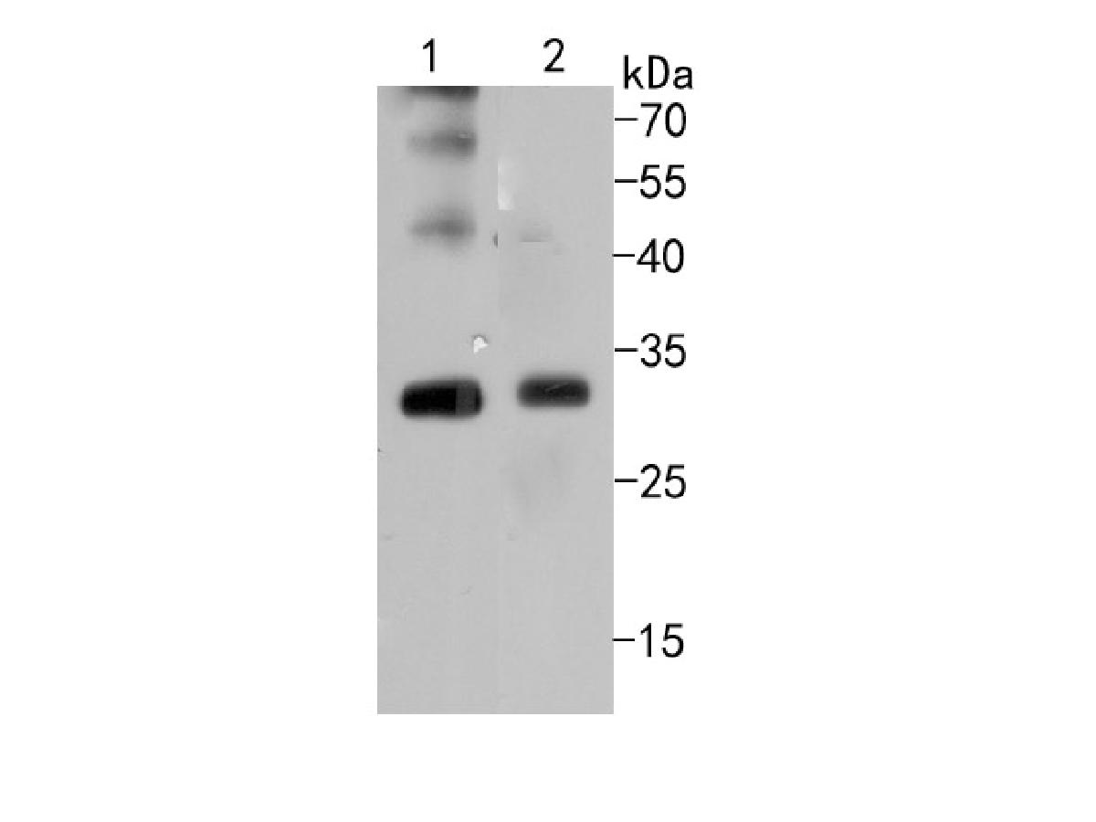 Western blot analysis of Bcl10 on different cell lysates using anti-Bcl10 antibody at 1/500 dilution.<br /> Positive control: <br /> Lane 1: HUVEC<br /> Lane 2:SW480