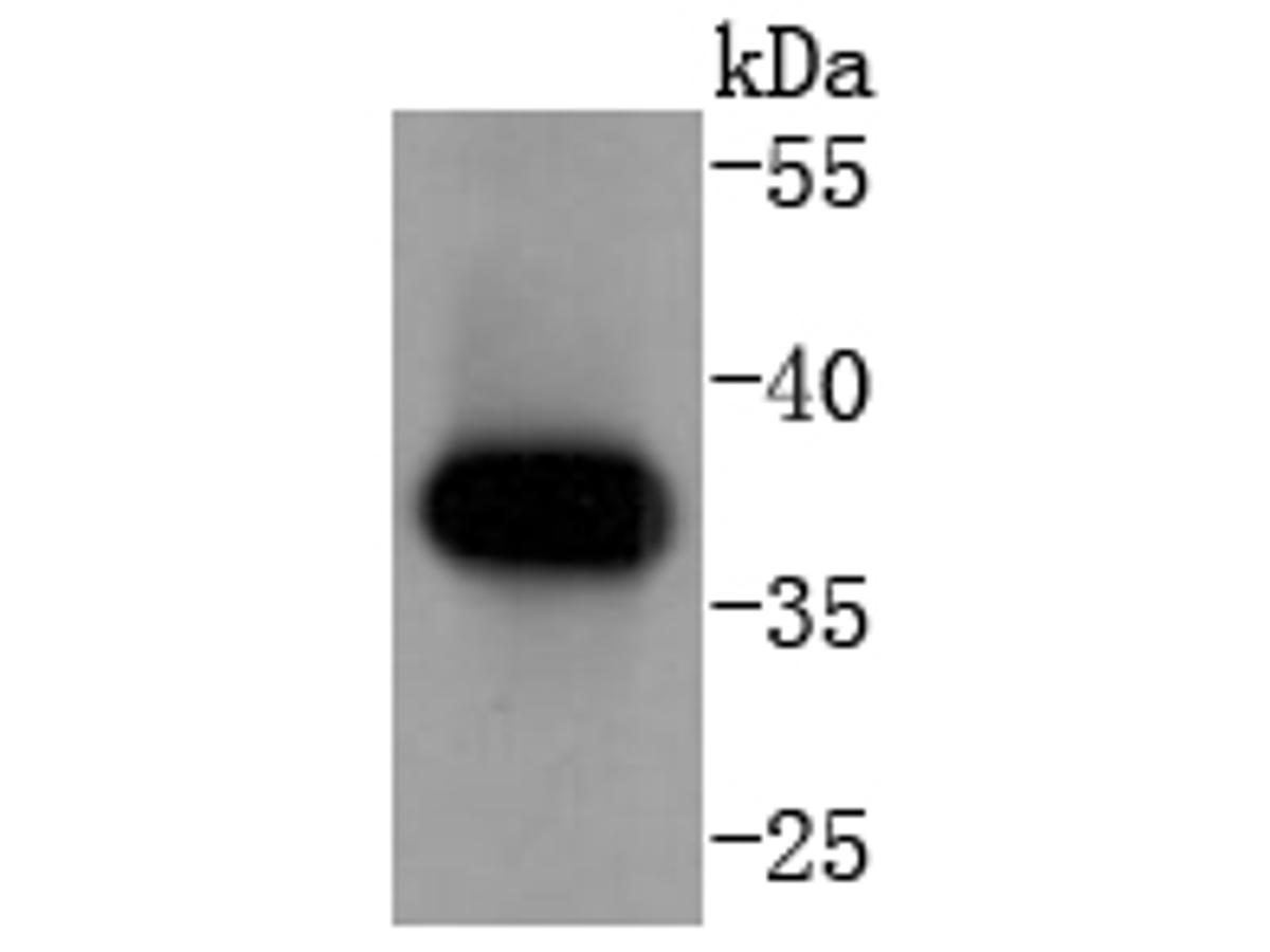 Western blot analysis of Cyclin H on K562 cells lysates using anti-Cyclin H antibody at 1/1,000 dilution.
