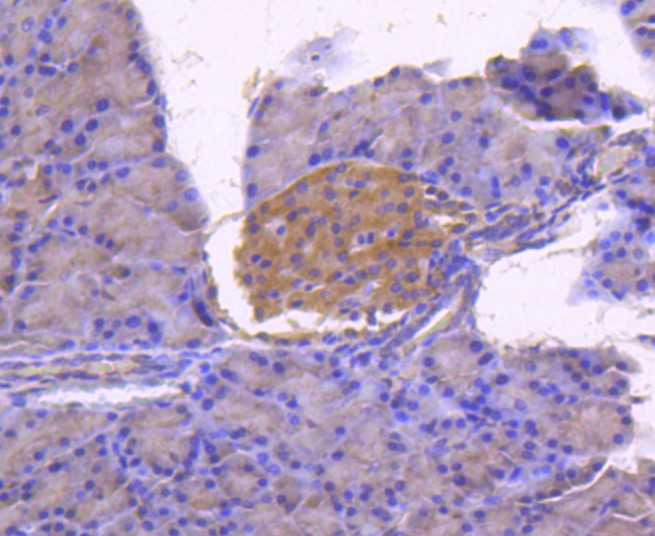 Immunohistochemical analysis of paraffin-embedded rat pancreas tissue using anti-Calnexin antibody. The section was pre-treated using heat mediated antigen retrieval with Tris-EDTA buffer (pH 8.0-8.4) for 20 minutes.The tissues were blocked in 5% BSA for 30 minutes at room temperature, washed with ddH2O and PBS, and then probed with the primary antibody (ET1611-86, 1/50) for 30 minutes at room temperature. The detection was performed using an HRP conjugated compact polymer system. DAB was used as the chromogen. Tissues were counterstained with hematoxylin and mounted with DPX.