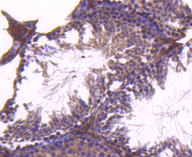 Immunohistochemical analysis of paraffin-embedded mouse testis tissue using anti-TAPA1/CD81 antibody. The section was pre-treated using heat mediated antigen retrieval with Tris-EDTA buffer (pH 8.0-8.4) for 20 minutes.The tissues were blocked in 5% BSA for 30 minutes at room temperature, washed with ddH2O and PBS, and then probed with the primary antibody (ET1611-87, 1/50) for 30 minutes at room temperature. The detection was performed using an HRP conjugated compact polymer system. DAB was used as the chromogen. Tissues were counterstained with hematoxylin and mounted with DPX.