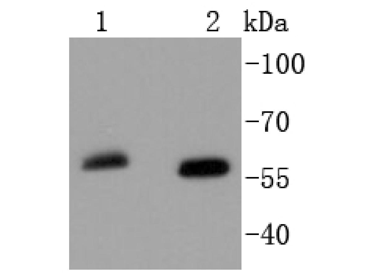 Western blot analysis of SOX10 on different lysates using anti-SOX10 antibody at 1/1,000 dilution.<br /> Positive control: <br /> Lane 1: Mouse brain <br /> Lane 2: HepG2