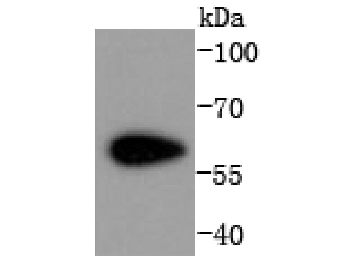 Western blot analysis of Cdk8 on NIH/3T3 cells lysates using anti-Cdk8 antibody at 1/1,000 dilution.