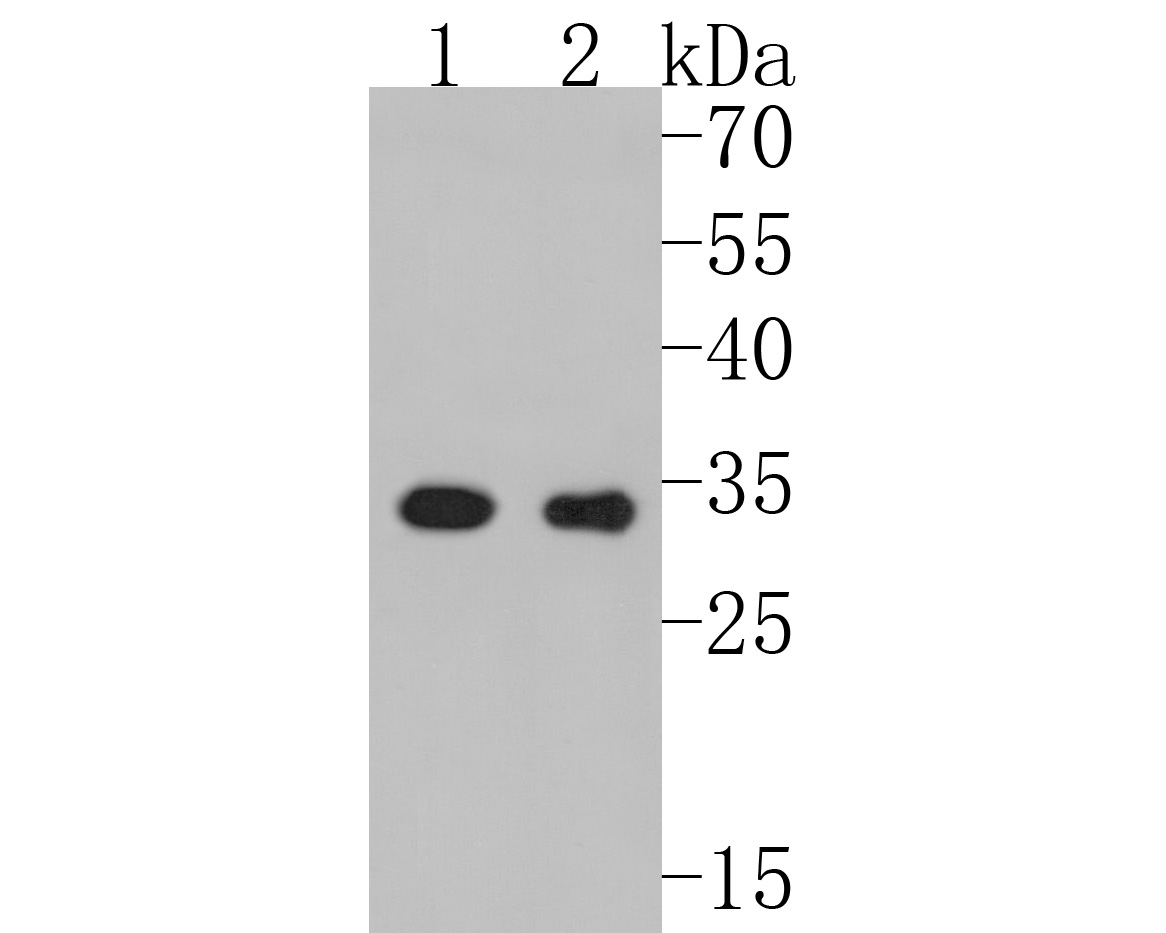 Western blot analysis of Cdk4 on Hela cells lysates using anti-Cdk4 antibody at 1/1,000 dilution.