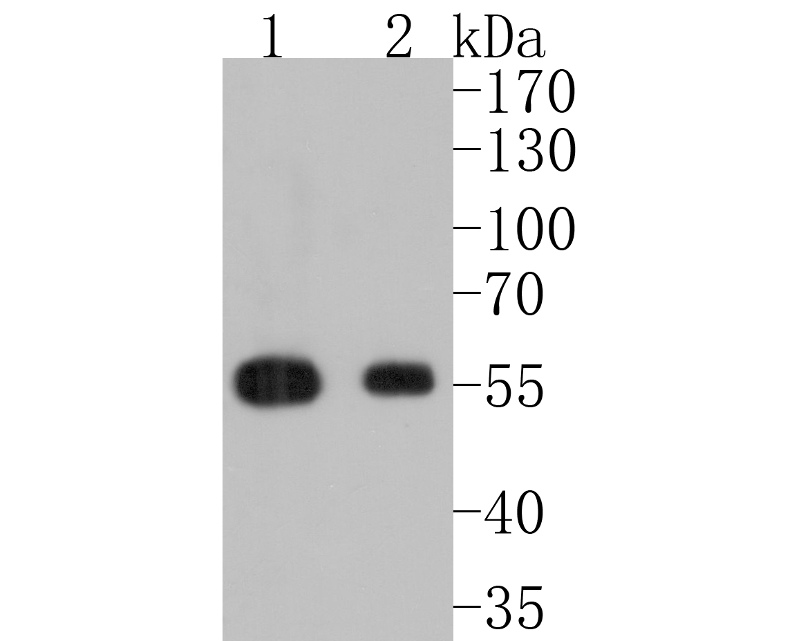 Western blot analysis of IRF3 on different lysates. Proteins were transferred to a PVDF membrane and blocked with 5% BSA in PBS for 1 hour at room temperature. The primary antibody (ET1612-14, 1/500) was used in 5% BSA at room temperature for 2 hours. Goat Anti-Rabbit IgG - HRP Secondary Antibody (HA1001) at 1:5,000 dilution was used for 1 hour at room temperature.<br />  Positive control: <br />  Lane 1: Jurkat cell lysate<br />  Lane 2: Hela cell lysate