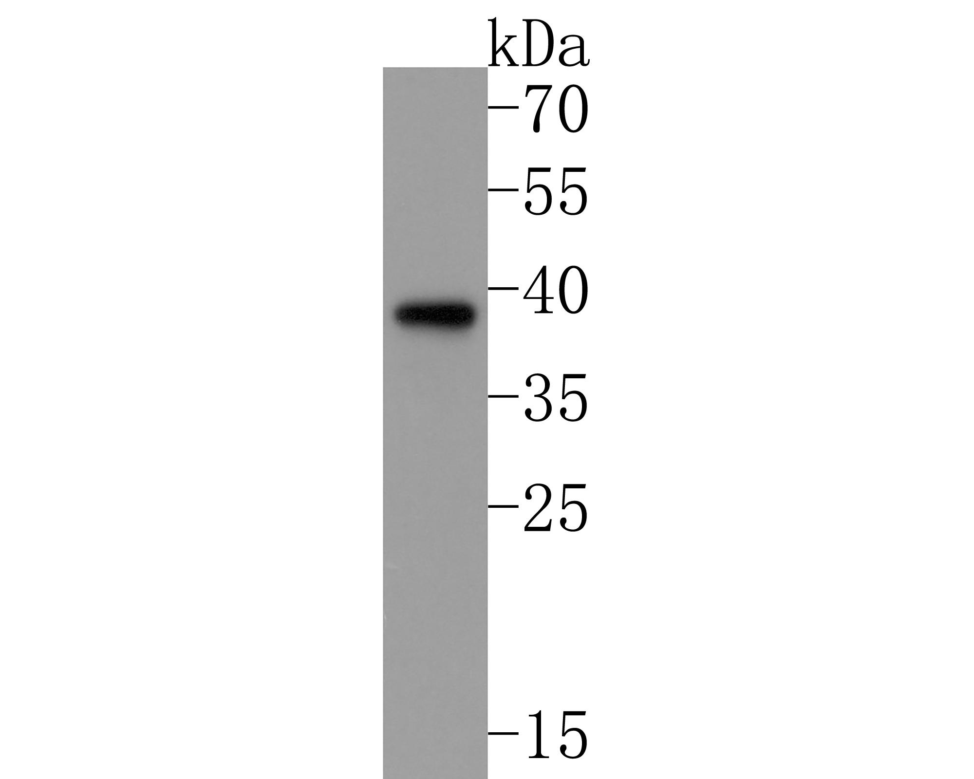 Western blot analysis of MEK3 on Hela lysates using anti-MEK3 antibody at 1/1,000 dilution.