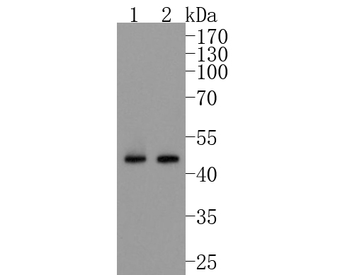 Western blot analysis of Cyclin B2 on different lysates. Proteins were transferred to a PVDF membrane and blocked with 5% BSA in PBS for 1 hour at room temperature. The primary antibody (ET1612-21, 1/500) was used in 5% BSA at room temperature for 2 hours. Goat Anti-Rabbit IgG - HRP Secondary Antibody (HA1001) at 1:5,000 dilution was used for 1 hour at room temperature.<br /> Positive control: <br /> Lane 1: K562 cell lysate<br /> Lane 2: Hela cell lysate