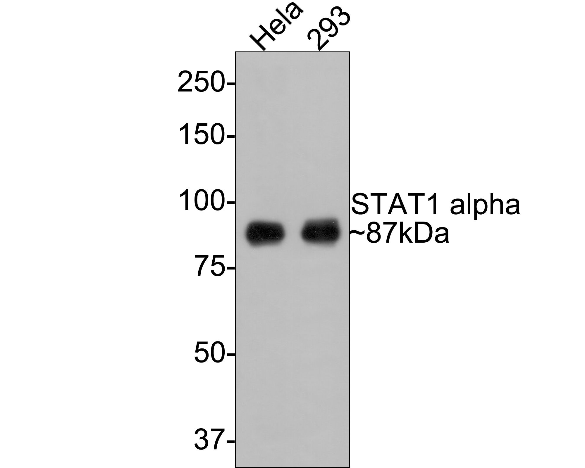 Western blot analysis of STAT1 on different lysates using anti-STAT1 alpha antibody at 1/1,000 dilution.<br /> Positive control: <br /> Lane 1: Hela <br /> Lane 2: 293