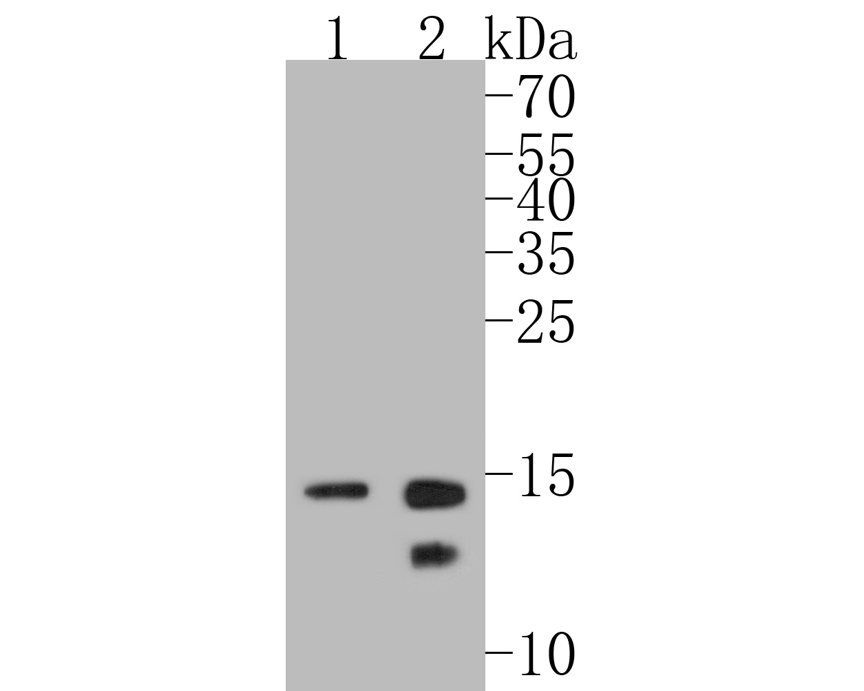 Western blot analysis of Histone H2B on different lysates. Proteins were transferred to a PVDF membrane and blocked with 5% BSA in PBS for 1 hour at room temperature. The primary antibody (ET1612-25, 1/500) was used in 5% BSA at room temperature for 2 hours. Goat Anti-Rabbit IgG - HRP Secondary Antibody (HA1001) at 1:5,000 dilution was used for 1 hour at room temperature.<br /> Positive control: <br /> Lane 1: Hela cell lysate<br /> Lane 2: PC-12 cell lysate