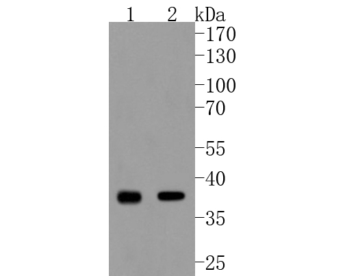 Western blot analysis of Cdk6 on different lysates. Proteins were transferred to a PVDF membrane and blocked with 5% BSA in PBS for 1 hour at room temperature. The primary antibody (ET1612-3, 1/500) was used in 5% BSA at room temperature for 2 hours. Goat Anti-Rabbit IgG - HRP Secondary Antibody (HA1001) at 1:5,000 dilution was used for 1 hour at room temperature.<br /> Positive control: <br /> Lane 1: K562 cell lysate<br /> Lane 2: Hela cell lysate