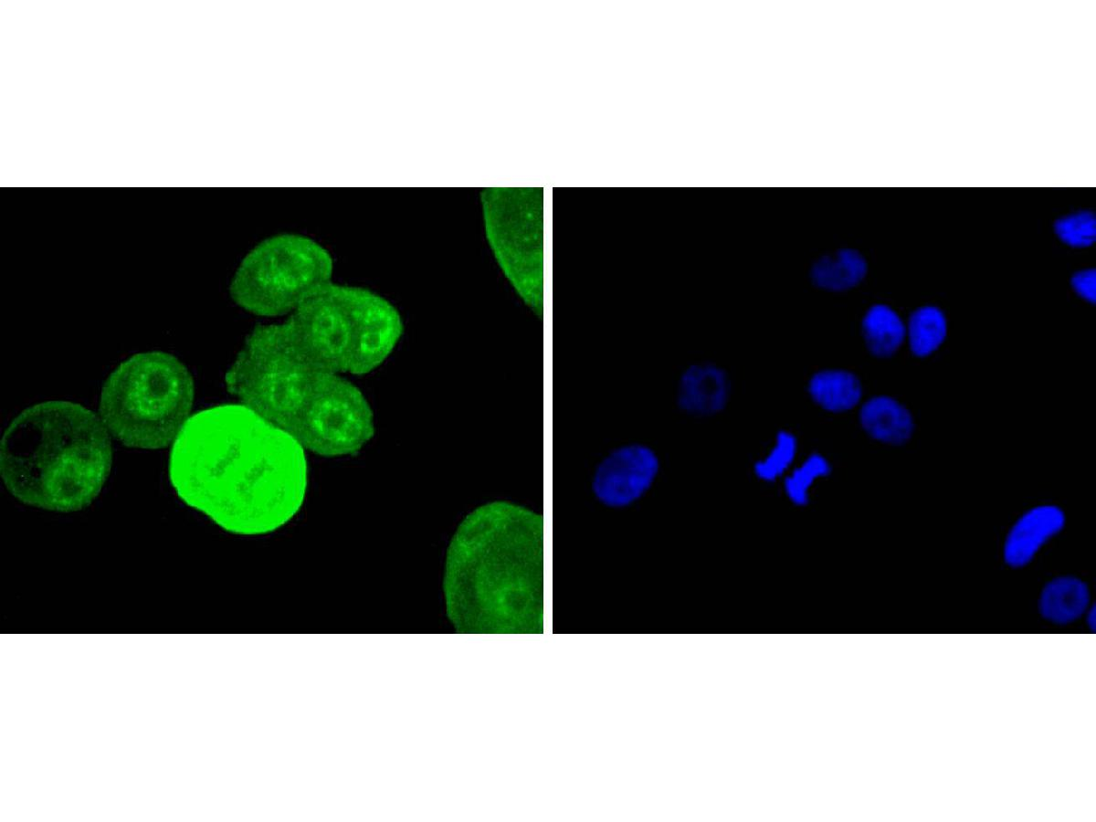 Flow cytometric analysis of Phospho-EGFR(Y1068) was done on Hela cells. The cells were fixed, permeabilized and stained with the primary antibody (ET1612-30, 1/50) (red). After incubation of the primary antibody at room temperature for an hour, the cells were stained with a Alexa Fluor 488-conjugated Goat anti-Rabbit IgG Secondary antibody at 1/1000 dilution for 30 minutes.Unlabelled sample was used as a control (cells without incubation with primary antibody; black).