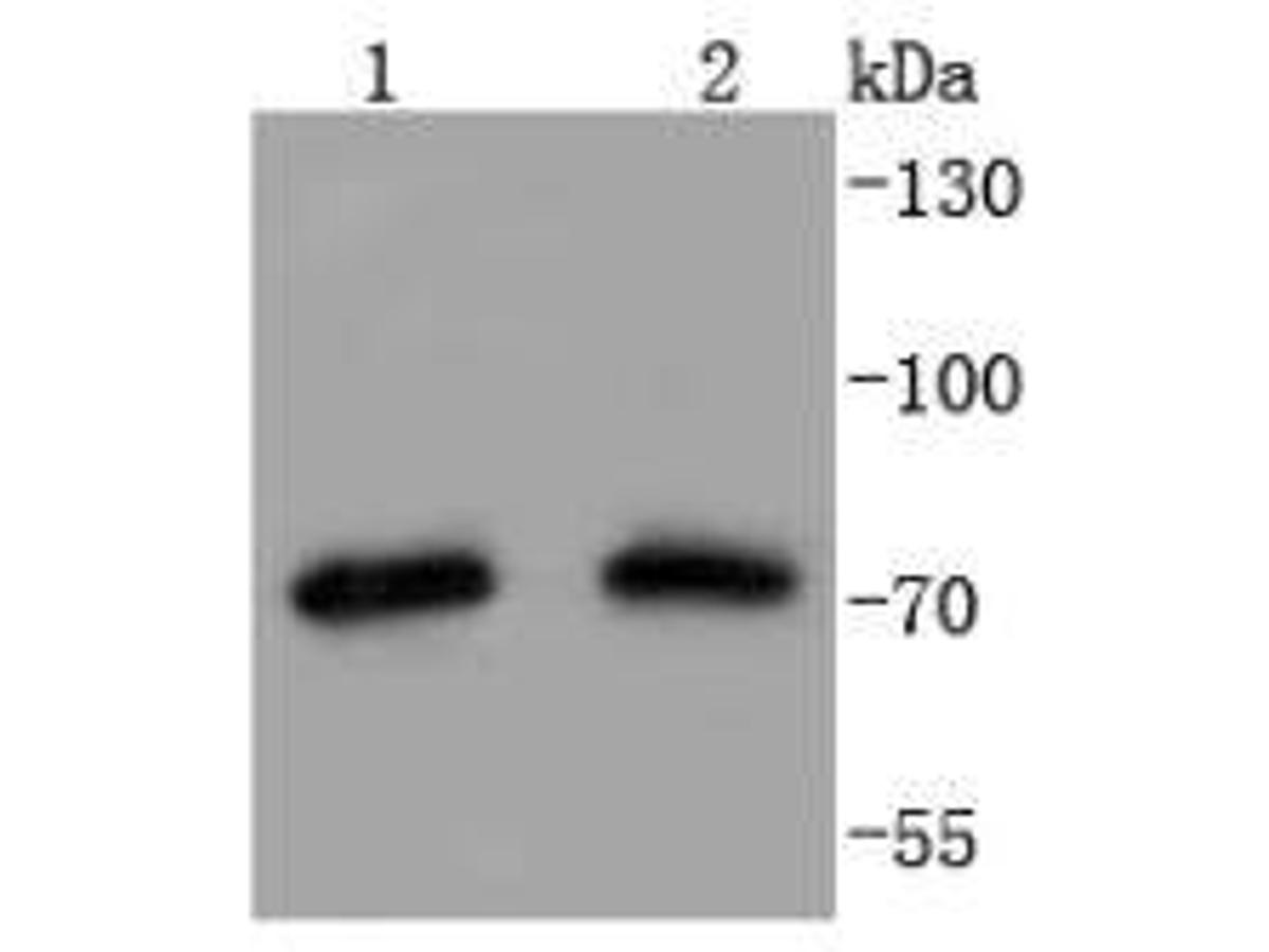 Western blot analysis of Hsp75 on different lysates using anti-Hsp75 antibody at 1/1,000 dilution.<br /> Positive control:   <br /> Lane 1: Hela               <br /> Lane 2: 293T