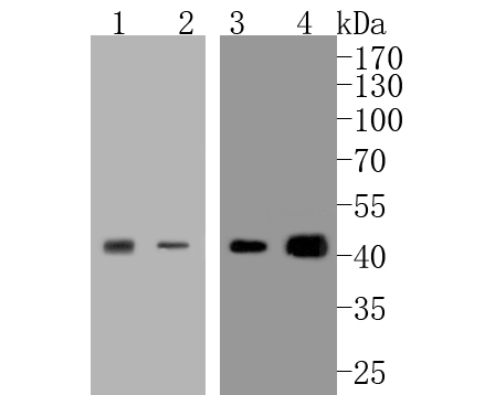 Western blot analysis of JunB on different lysates. Proteins were transferred to a PVDF membrane and blocked with 5% BSA in PBS for 1 hour at room temperature. The primary antibody (ET1612-57, 1/500) was used in 5% BSA at room temperature for 2 hours. Goat Anti-Rabbit IgG - HRP Secondary Antibody (HA1001) at 1:5,000 dilution was used for 1 hour at room temperature.<br />  Positive control: <br />  Lane 1: MCF-7 cell lysate<br />  Lane 2: SiHa cell lysate<br />  Lane 1: U937 cell lysate<br />  Lane 2: THP-1 cell lysate