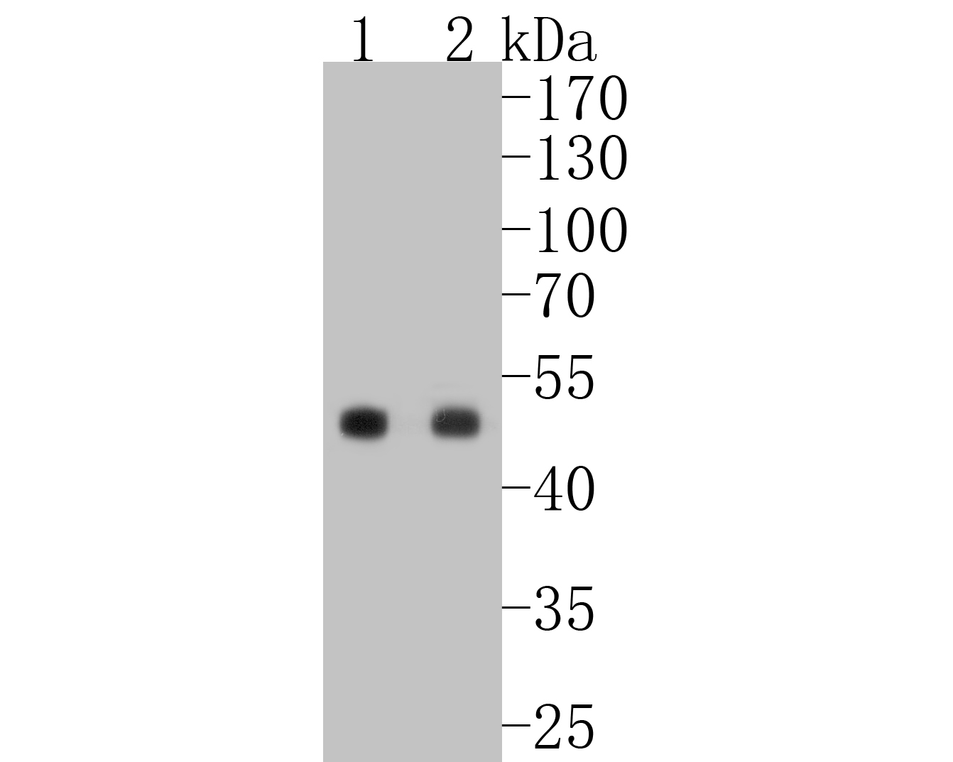 Western blot analysis of PAX6 on different lysates. Proteins were transferred to a PVDF membrane and blocked with 5% BSA in PBS for 1 hour at room temperature. The primary antibody (ET1612-58, 1/500) was used in 5% BSA at room temperature for 2 hours. Goat Anti-Rabbit IgG - HRP Secondary Antibody (HA1001) at 1:5,000 dilution was used for 1 hour at room temperature.<br /> Positive control: <br /> Lane 1: K562 cell lysate<br /> Lane 2: Hela cell lysate