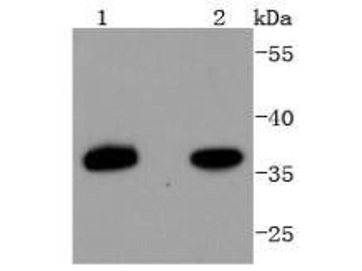 Western blot analysis of PAX9 on different lysates using anti-PAX9 antibody at 1/1,000 dilution.<br /> Positive control:   <br /> Lane 1: HepG2             <br /> Lane 2: Hela