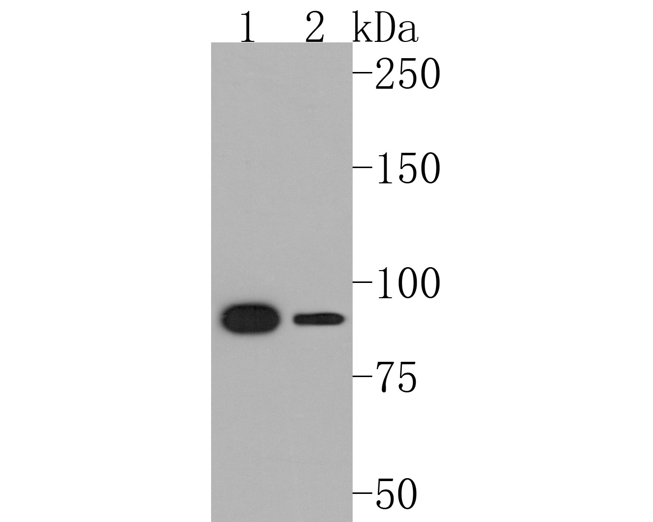 Western blot analysis of STAT5b on different lysates using anti-STAT5b antibody at 1/1,000 dilution.<br /> Positive control: <br /> Lane 1: K562 <br /> Lane 2: Hela