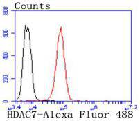 Flow cytometric analysis of K562 cells with HDAC7 antibody at 1/50 dilution (red) compared with an unlabelled control (cells without incubation with primary antibody; black). Alexa Fluor 488-conjugated goat anti rabbit IgG was used as the secondary antibody
