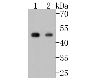 Western blot analysis of Phospho-CDC37 (S13) on different lysates. Proteins were transferred to a PVDF membrane and blocked with 5% BSA in PBS for 1 hour at room temperature. The primary antibody (ET1612-74, 1/500) was used in 5% BSA at room temperature for 2 hours. Goat Anti-Rabbit IgG - HRP Secondary Antibody (HA1001) at 1:5,000 dilution was used for 1 hour at room temperature.<br /> Positive control: <br /> Lane 1: NIH/3T3 cell lysate<br /> Lane 2: Jurkat cell lysate