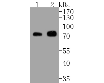 Western blot analysis of Phospho-Raf1 (S43) on different lysates. Proteins were transferred to a PVDF membrane and blocked with 5% BSA in PBS for 1 hour at room temperature. The primary antibody (ET1612-75, 1/500) was used in 5% BSA at room temperature for 2 hours. Goat Anti-Rabbit IgG - HRP Secondary Antibody (HA1001) at 1:5,000 dilution was used for 1 hour at room temperature.<br />  Positive control: <br />  Lane 1: NIH/3T3 cell lysate<br />  Lane 2: 293T cell lysate