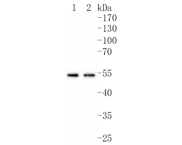 Western blot analysis of Cyclin A1/A2 on different lysates using anti-Cyclin A1/A2 antibody at 1/1,000 dilution.<br />  Positive control: <br />  Lane 1: Hela <br />  Lane 2: HepG2