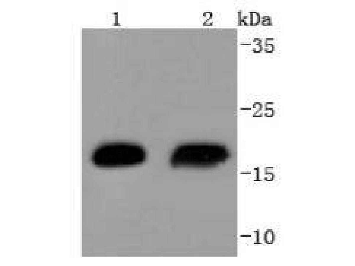 Western blot analysis of Hsp20 on different lysates using anti-Hsp20 antibody at 1/1,000 dilution.<br />  Positive control: <br />  Lane 1: Human skeletal muscle <br />  Lane 2: Mouse skeletal muscle
