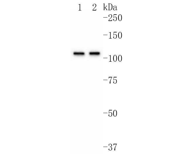 Western blot analysis of HSPA4 on Hela cells lysates using anti-HSPA4 antibody at 1/1,000 dilution.
