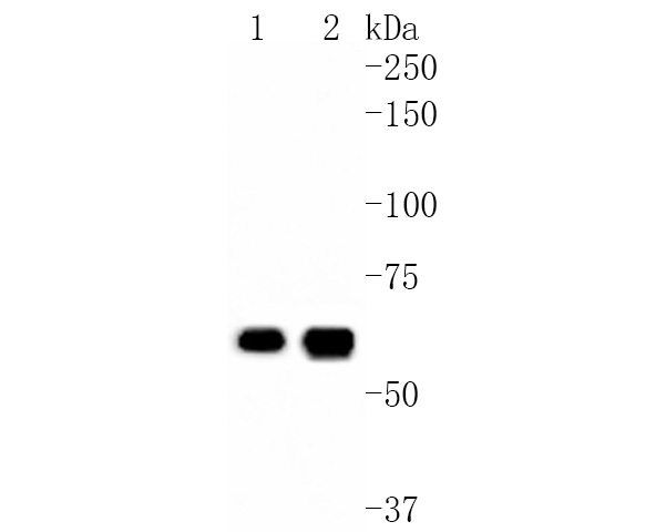 Western blot analysis of CDC23 on different lysates. Proteins were transferred to a PVDF membrane and blocked with 5% BSA in PBS for 1 hour at room temperature. The primary antibody (ET1612-84, 1/500) was used in 5% BSA at room temperature for 2 hours. Goat Anti-Rabbit IgG - HRP Secondary Antibody (HA1001) at 1:200,000 dilution was used for 1 hour at room temperature.<br /> Positive control: <br /> Lane 1: Hela cell lysate<br /> Lane 2: Jurkat cell lysate