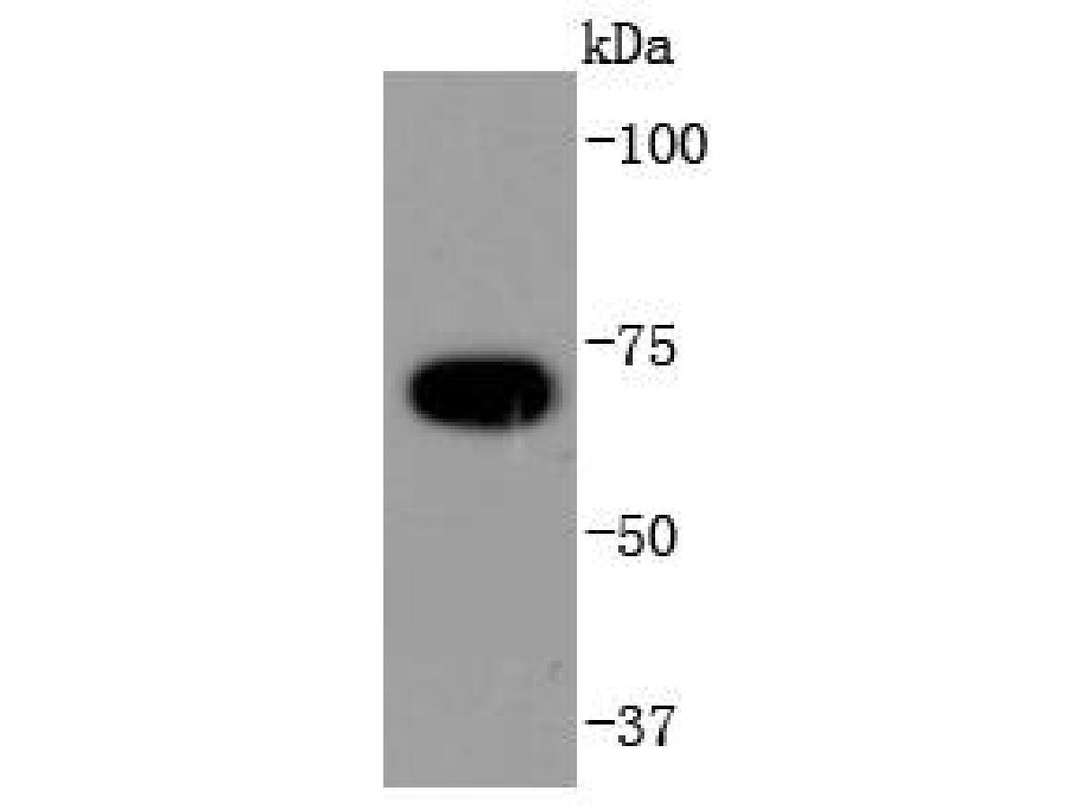 Western blot analysis of APC6 on Hela cells lysates using anti-APC6 antibody at 1/1,000 dilution.