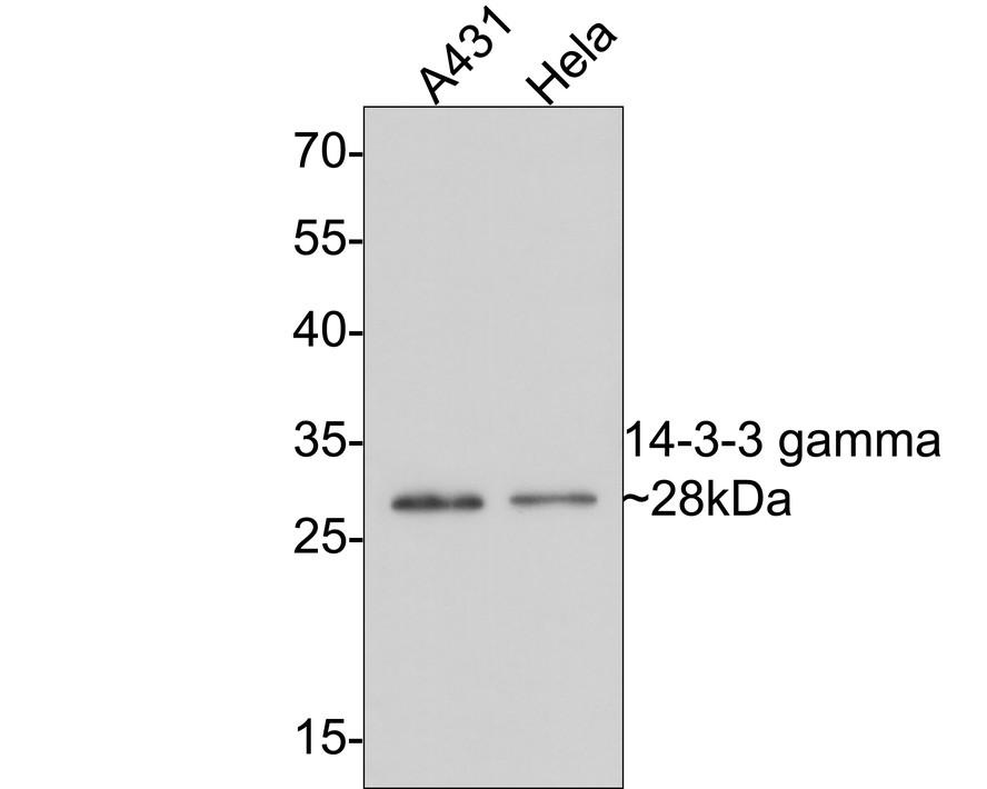 Flow cytometric analysis of K562 cells with 14-3-3 gamma antibody at 1/50 dilution (red) compared with an unlabelled control (cells without incubation with primary antibody; black). Alexa Fluor 488-conjugated goat anti rabbit IgG was used as the secondary antibody.