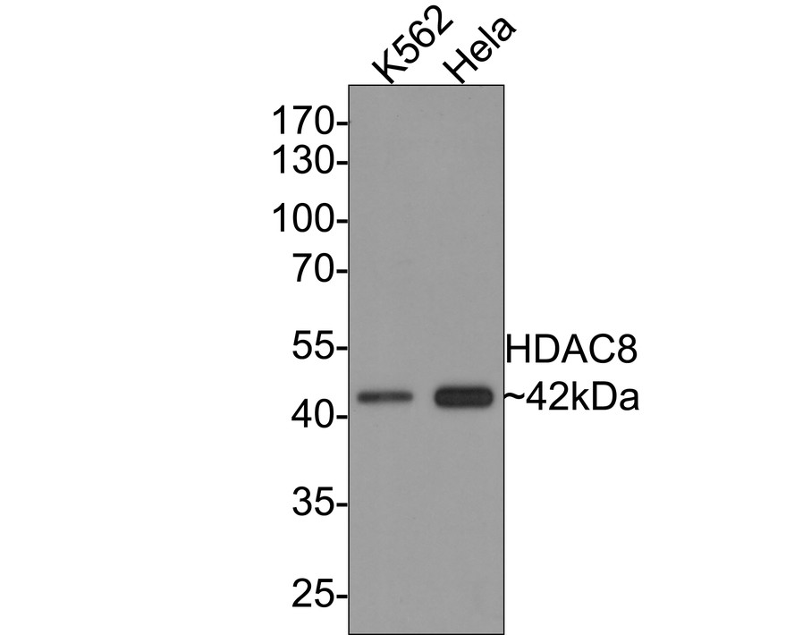 Western blot analysis of HDAC8 on different lysates. Proteins were transferred to a PVDF membrane and blocked with 5% BSA in PBS for 1 hour at room temperature. The primary antibody (ET1612-90, 1/500) was used in 5% BSA at room temperature for 2 hours. Goat Anti-Rabbit IgG - HRP Secondary Antibody (HA1001) at 1:5,000 dilution was used for 1 hour at room temperature.<br /> Positive control: <br /> Lane 1: Hela cell lysate<br /> Lane 2: K562 cell lysate