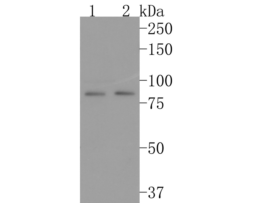 Western blot analysis of Cdc27 on different lysates using anti-Cdc27 antibody at 1/1,000 dilution.<br />  Positive control: <br />  Lane 1: Hela <br />  Lane 2: K562