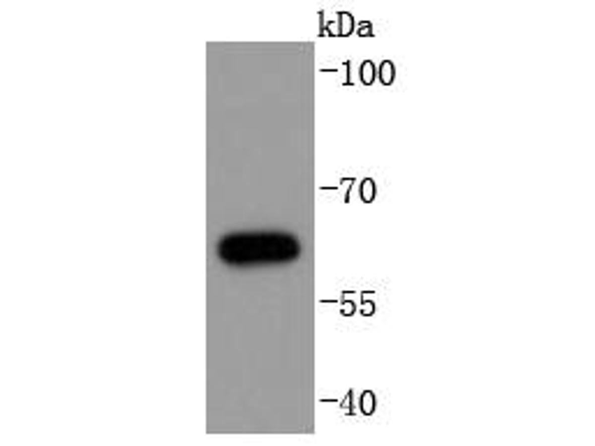 Western blot analysis of Phospho-Cdc6(S54) on Jurkat cells lysates using anti-Phospho-Cdc6(S54) antibody at 1/1,000 dilution.