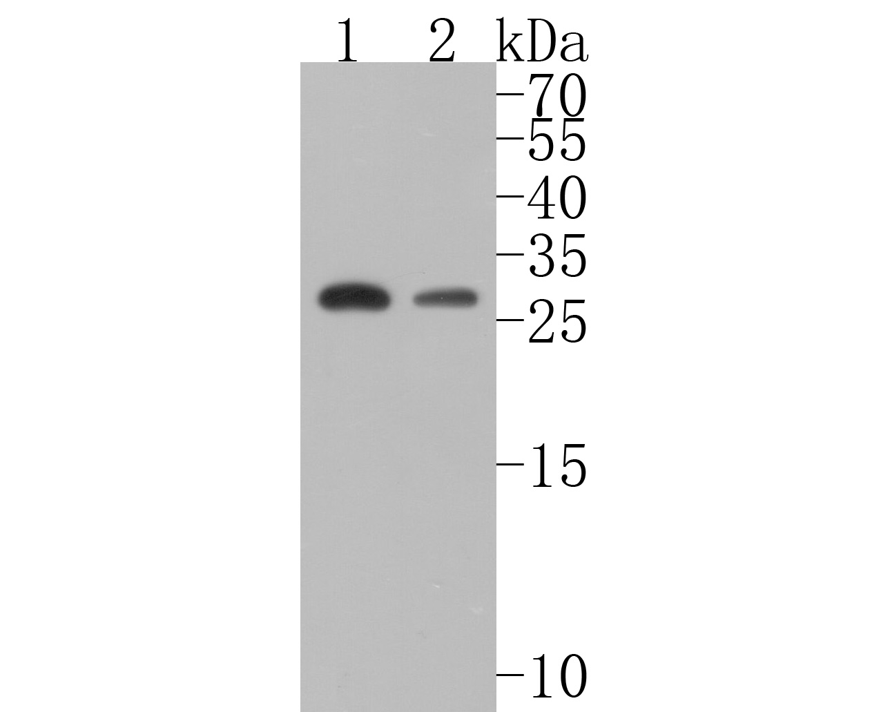 Western blot analysis of 14-3-3 Theta on different lysates. Proteins were transferred to a PVDF membrane and blocked with 5% BSA in PBS for 1 hour at room temperature. The primary antibody (ET1612-97, 1/500) was used in 5% BSA at room temperature for 2 hours. Goat Anti-Rabbit IgG - HRP Secondary Antibody (HA1001) at 1:5,000 dilution was used for 1 hour at room temperature.<br /> Positive control: <br /> Lane 1: MCF-7 cell lysate<br /> Lane 2: Hela cell lysate