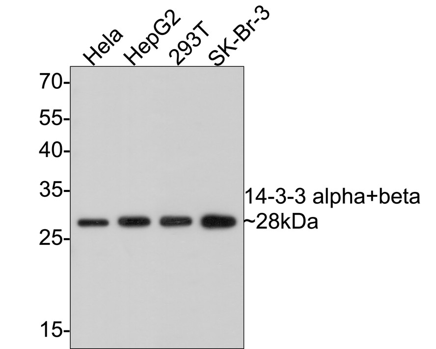 Western blot analysis of 14-3-3 alpha+beta on different lysates. Proteins were transferred to a PVDF membrane and blocked with 5% BSA in PBS for 1 hour at room temperature. The primary antibody (ET1612-99, 1/500) was used in 5% BSA at room temperature for 2 hours. Goat Anti-Rabbit IgG - HRP Secondary Antibody (HA1001) at 1:5,000 dilution was used for 1 hour at room temperature.<br /> Positive control: <br /> Lane 1: Hela cell lysate<br /> Lane 2: HepG2 cell lysate<br /> Lane 2: 293T cell lysate