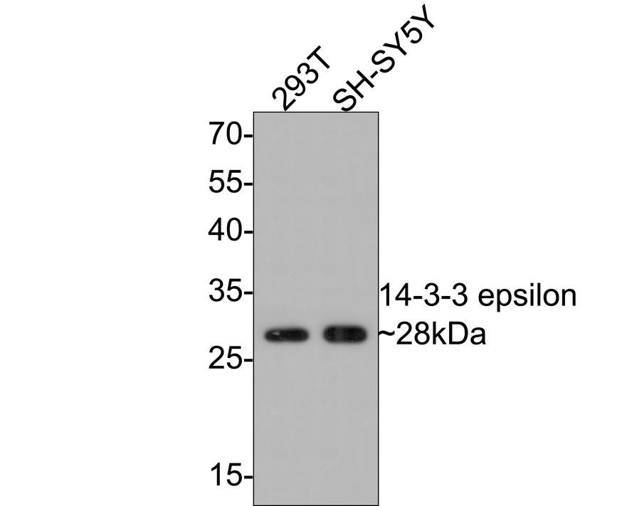 Western blot analysis of 14-3-3 epsilon on different lysates using anti-14-3-3 epsilon antibody at 1/1,000 dilution.<br /> Positive control: <br /> Lane 1: SH-SY-5Y <br /> Lane 2: 293T