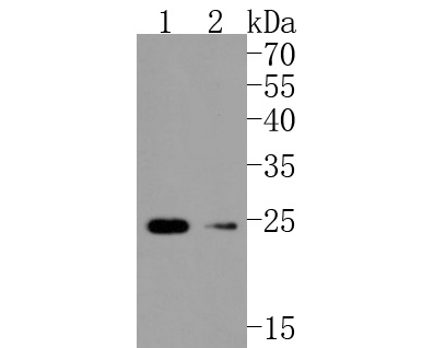 Western blot analysis of Hsp22 on different lysates using anti-Hsp22 antibody at 1/1,000 dilution.<br /> Positive control: <br /> Lane 1: HepG2 <br /> Lane 2: Mouse skeletal muscle