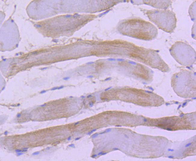 Immunohistochemical analysis of paraffin-embedded rat skeletal muscle tissue using anti-Hsp22 antibody. Counter stained with hematoxylin.