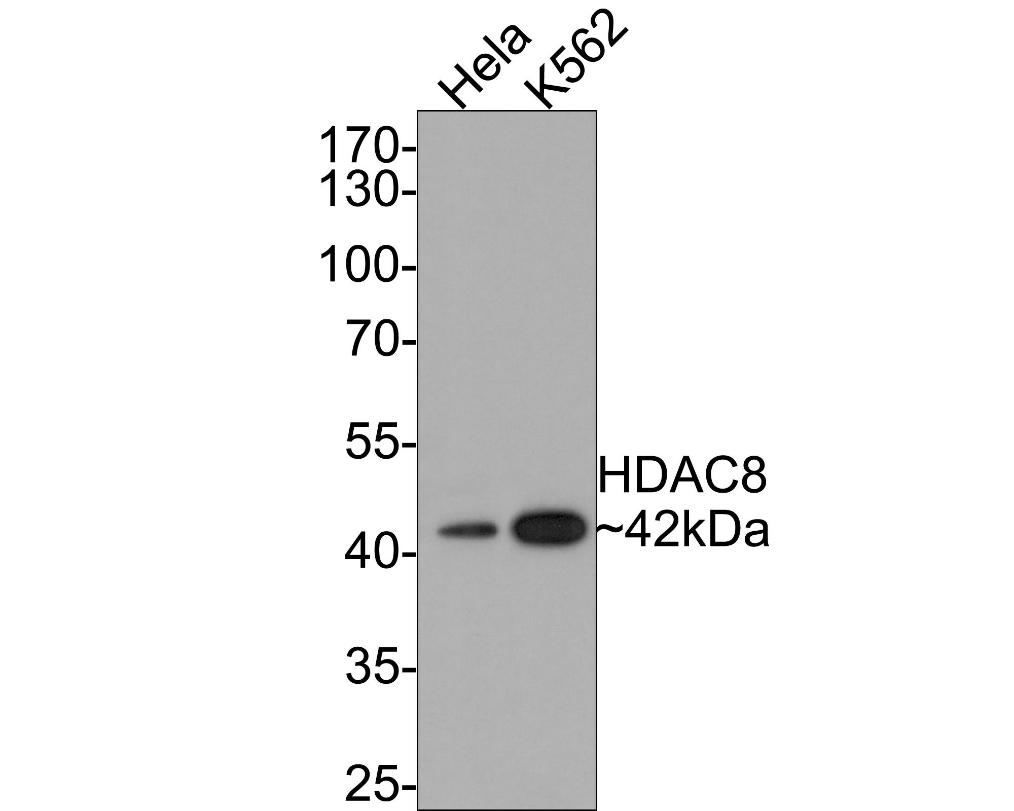 Western blot analysis of HDAC8 on different lysates using anti-HDAC8 antibody at 1/1,000 dilution.<br />  Positive control: <br />  Lane 1: Hela <br />  Lane 2: K562
